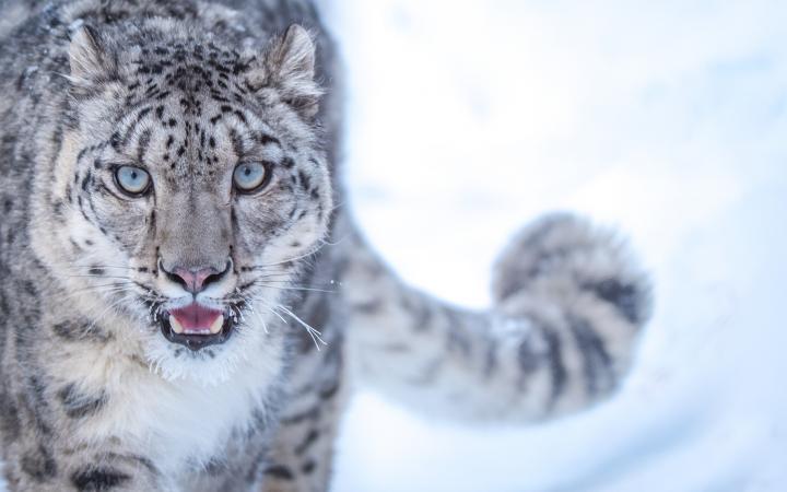 bae51b26e8066 Panthère des neiges captive (Pakistan)