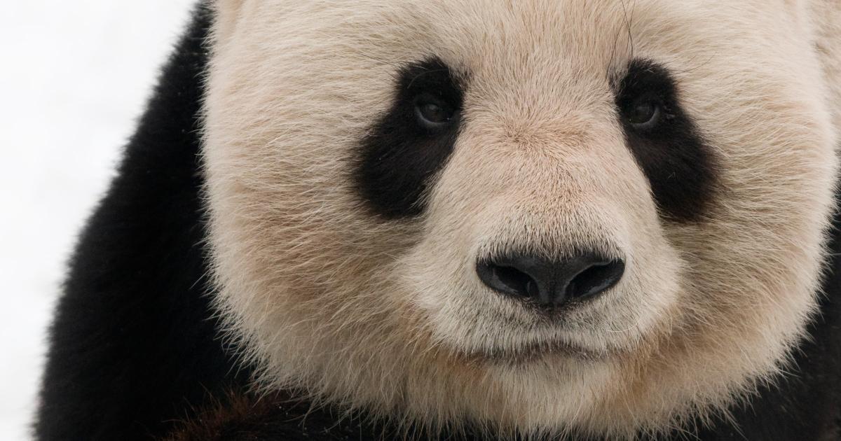 669930a29a95be Le panda géant, une espèce prioritaire   WWF France