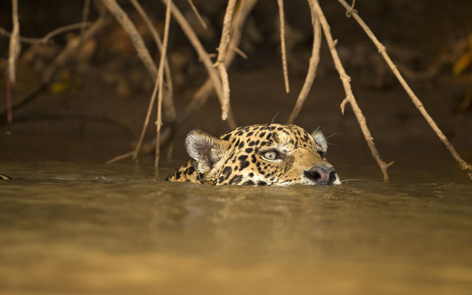 Jaguar (Panthera onca) en train de nager dans une rivière du Pantanal, Brésil