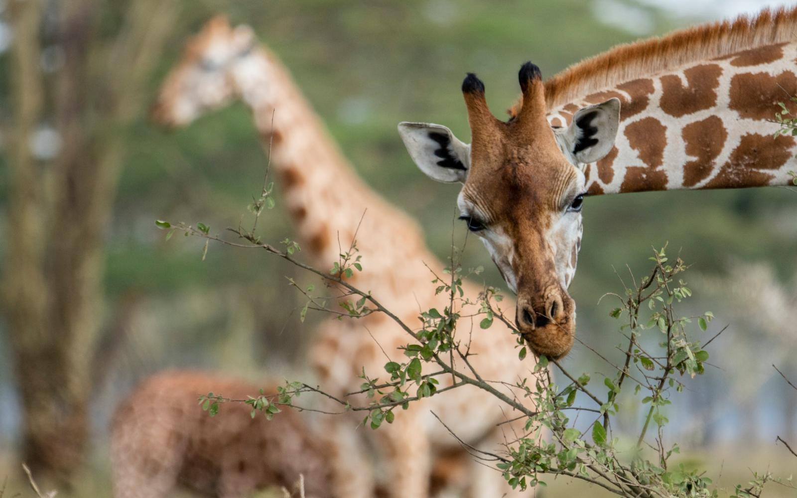 f34b746627e Girafe dans un parc national (Kenya). Transmettre son patrimoine