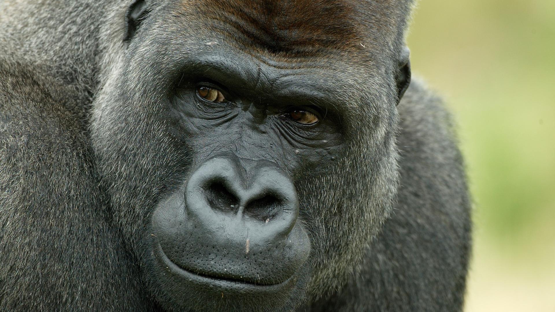 Le gorille un grand singe en danger wwf france - Dessin d un gorille ...