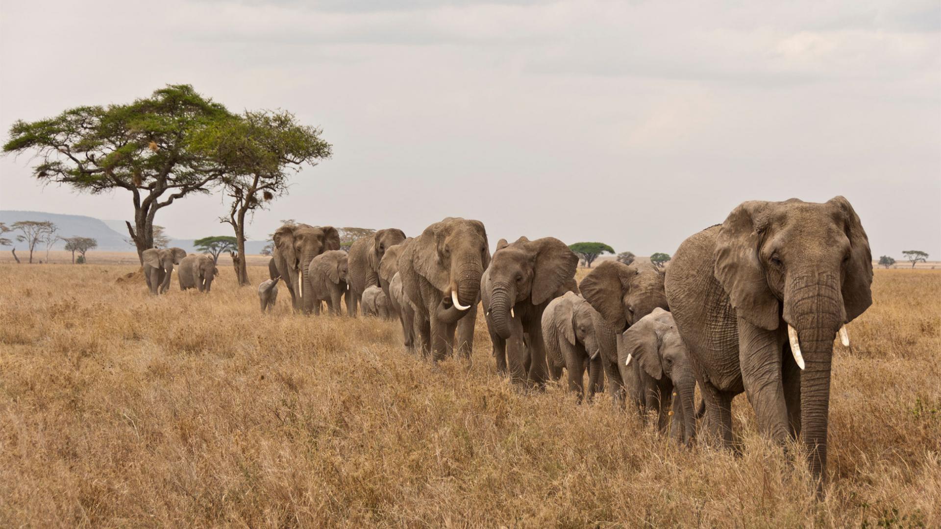 Elephant En Inde Signification les éléphants, des animaux menacés | wwf france