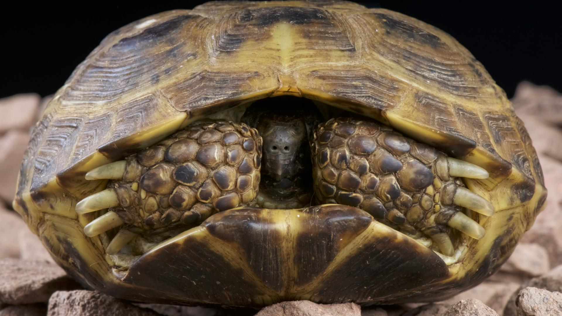 Tortue des steppes (Agrionemys horsfieldii) dans sa carapace