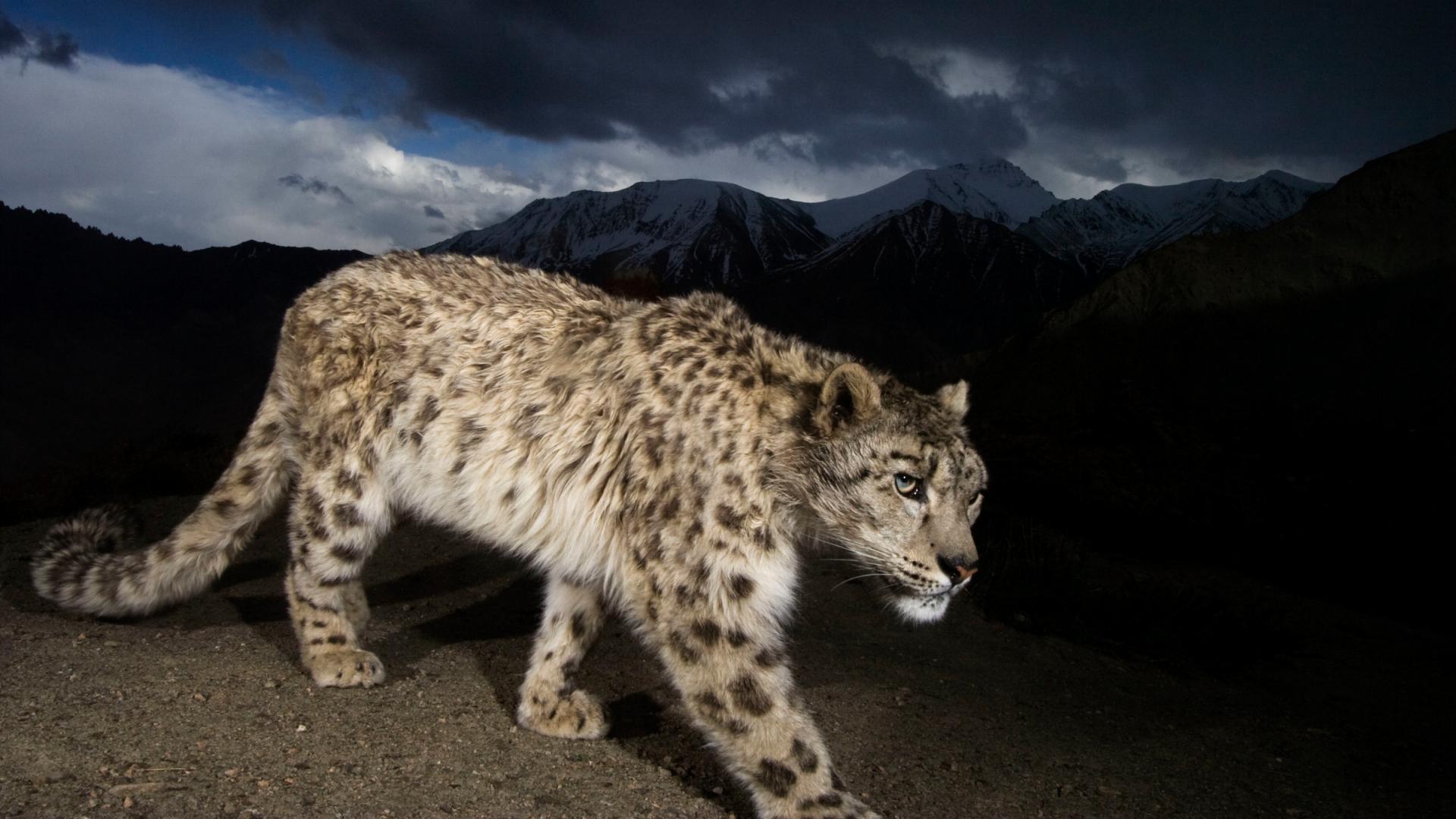 6f0c7345f7c9e Panthère des neiges (Uncia uncia or Panthera uncia) à la lueur de la lune