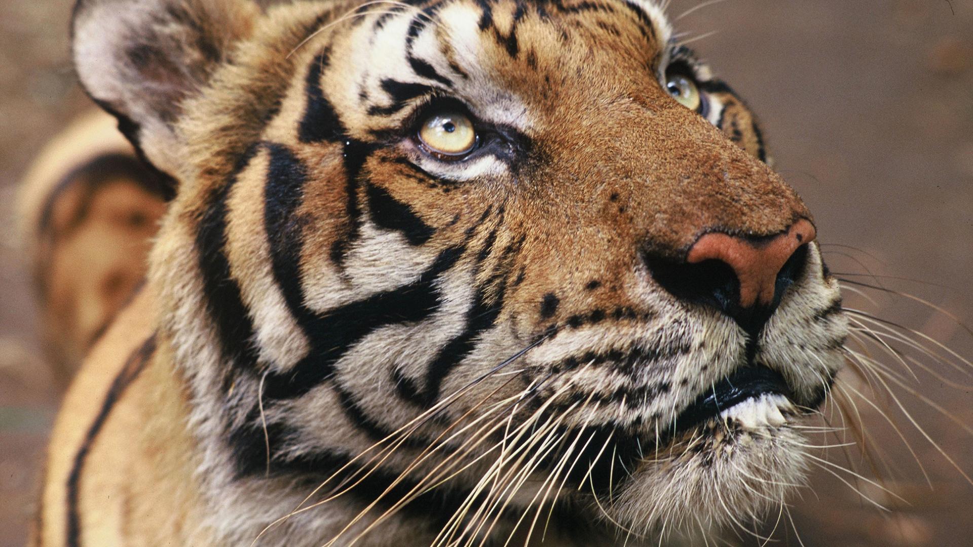 Rencontre avec des tigres en france