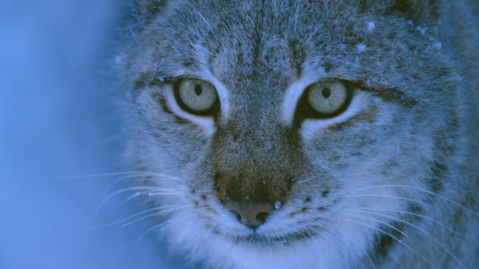 Lynx boréal, un félin rare et méconnu | WWF France