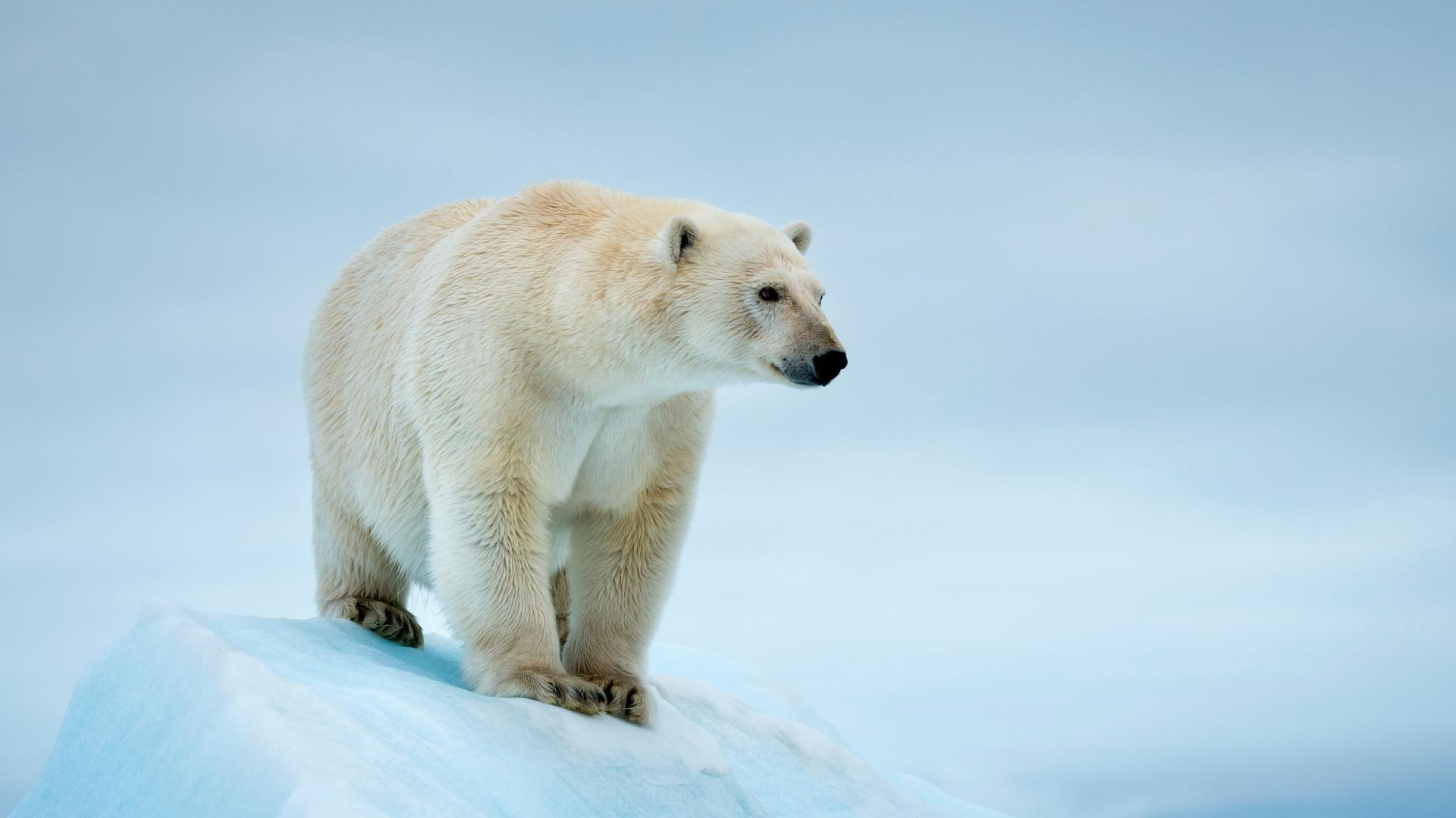L'ours polaire, une espèce prioritaire | WWF France
