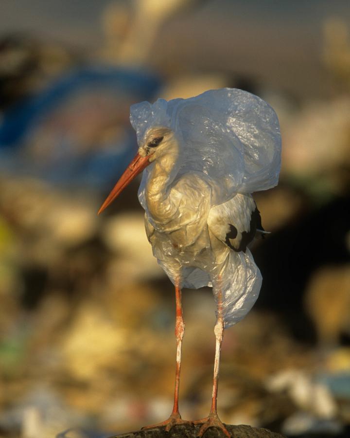 Cigogne blanche (Ciconia ciconia) prise au piège dans un sac plastique (Espagne)